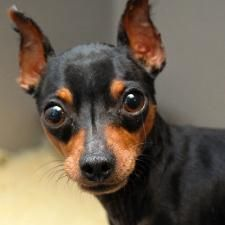 Scrappy is an adoptable Miniature Pinscher Dog in Des Moines, IA. Currently located at ARL Main Scrappy is a teeny-tiny 3 year old guy who will look good in your lap! He can be quite shy and some thin...