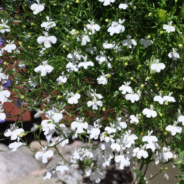 35 cm. Hänglobelia'Cascade White'. Blommar juni-september, placera i sol-halvskugga.