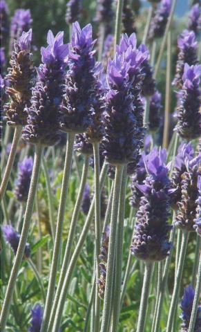 Lavandula dentata - French Lavender