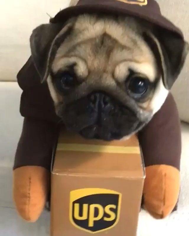 Der wohl süßeste Packetbote! <3 ©worldofpug | #Mops #Pug