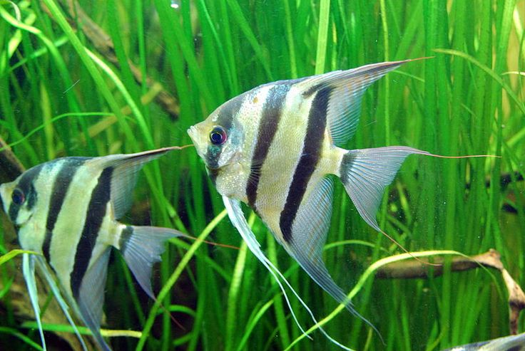 "The Angelfish is one of the most popular tropical fish in the hobby, and is an semi-aggressive member of the Cichlid family. They can grow to be approx 6"" and look great in small groups in an aquarium."