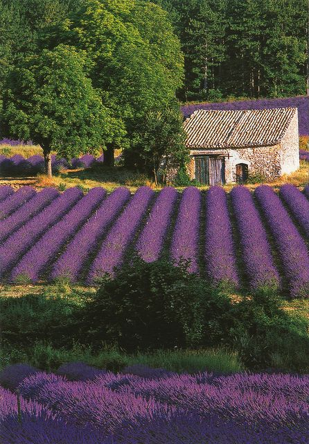 Lavender Fields, Provence - from my board: http://www.pinterest.com/pinbycolor/lavender