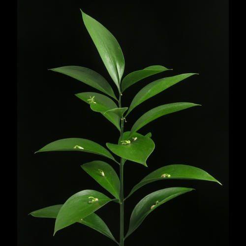 Ruskus, Ruscus hypophyllum, Liliaceae Liljefamilien, SNITT