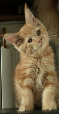 Maine Coon, Red Solid (d) (N)Gentle Powers Alexia
