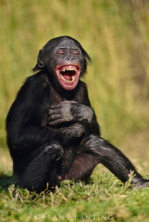 That's funny - Bonobo juvenile laughing, Pan paniscus, Native to Congo (DRC)