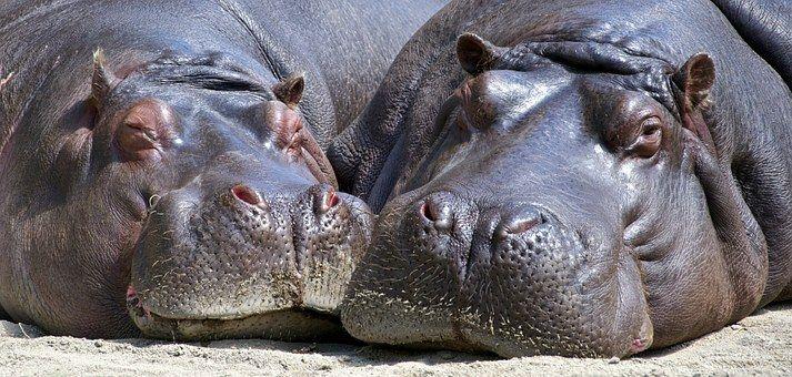 Hipopótamo, Mamíferos