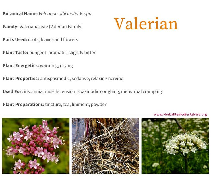 Valerian is an herb that has a long history of use around the world. Although V. officinalis was the official herb in the United States Pharmacopeia from 1820-1942, many other native Valeriana grow around the world and are also used medicinally.