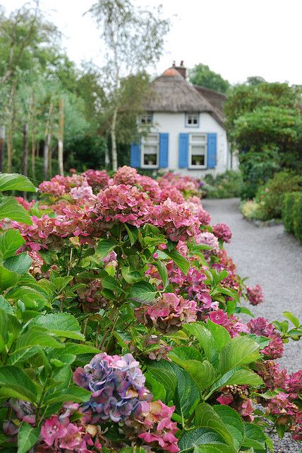 Cottage with beautiful hydrangeas!