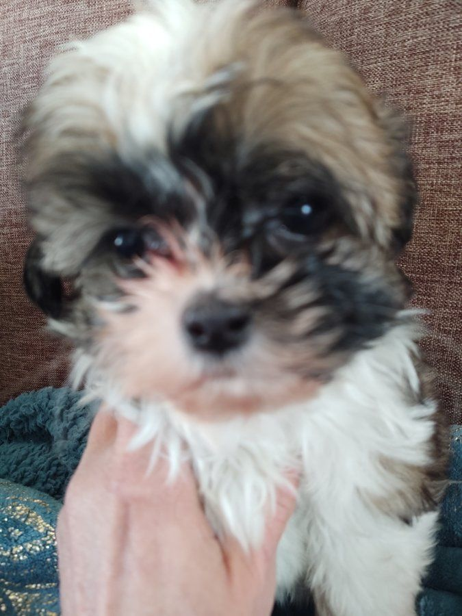 Shihtzu Poodle Puppies In Akeley Minnesota Hoobly Classifieds In 2020 Puppies Poodle Puppy Poodle