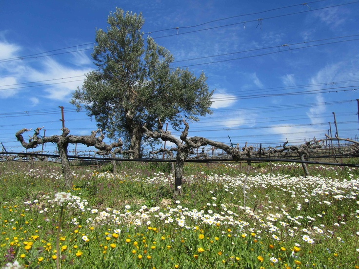 Spring time in Koutsi-Nemea [Gaia Estate]