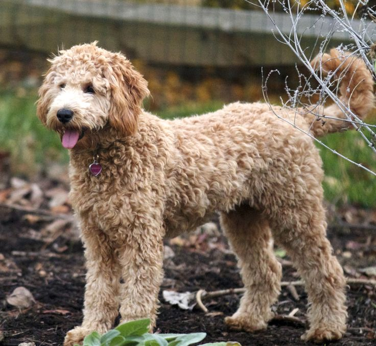 goldendoodle haircuts | Multigen Petite/Mini/Medium Goldendoodles page 7