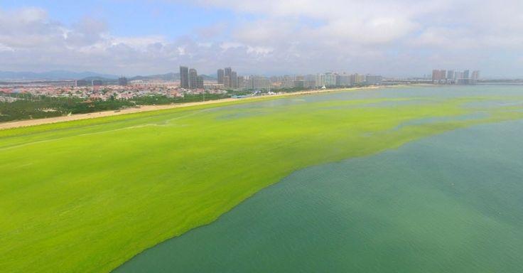 Algas verdes tomam conta da costa da cidade de Haiyang de Yantai, na China. O aumento da alga, do tipo Enteromorpha prolifera, pode estar relacionado com a poluição da agricultura e da indústria. Trabalhos de limpeza das águas já estão em curso
