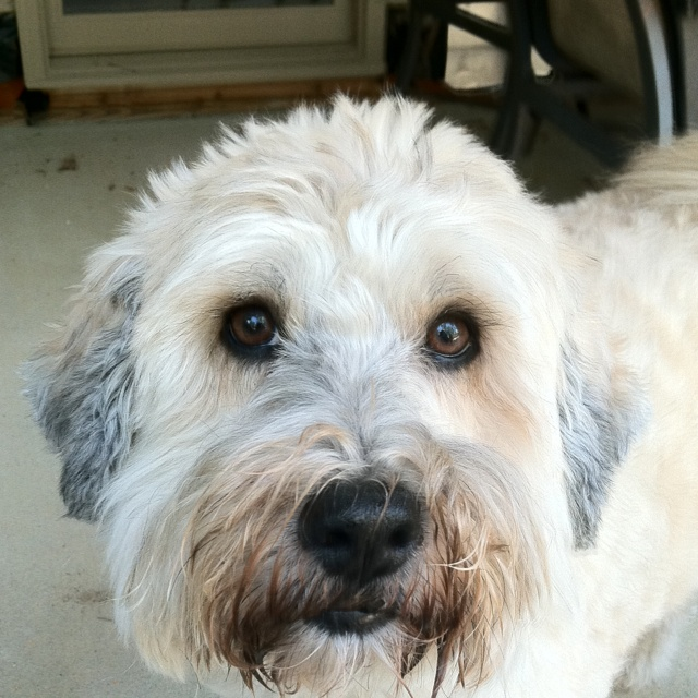 """Wheatable"" - Soft Coated Wheaten Terrier mix 