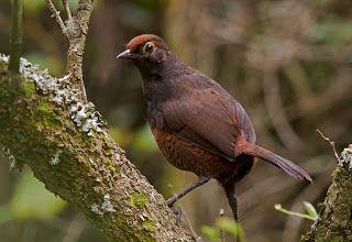 Las  Aves  que Viven  en  Chile: Hued Hued el aullador de la Selva Araucana