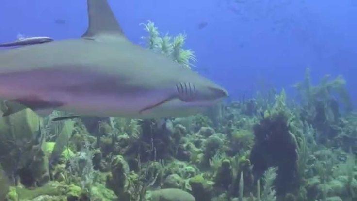 Sharks of Jardines de la Reina  CUBA 4