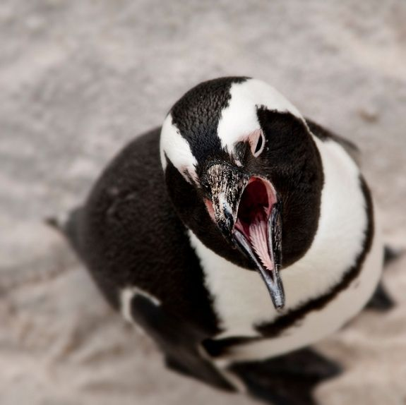 #Penguins don't have teeth, instead relying on bristly spines on the inside of their mouth.