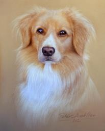 Duck tolling retriever.   Pastel pencil Painting  https://www.facebook.com/PeterSkillenArt