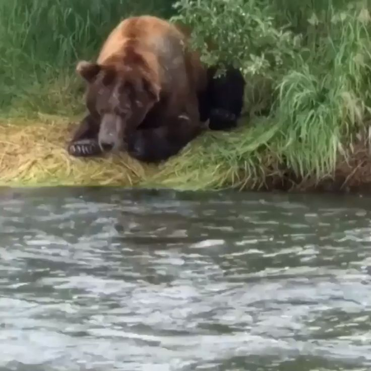 Grizzly bear catches a fish