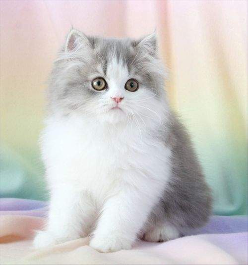 cute fluffy kittens cats and kittens kitty cats fluffy cat cats ... Fluffy Teacup Kittens