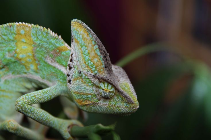 #animal #chamaeleon #chamaeleonidae #chameleon #close up #green #lizard #macro #reptile