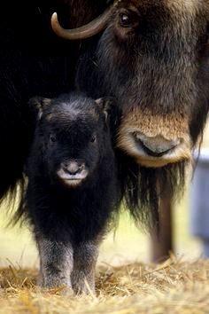Muskox cow & calf
