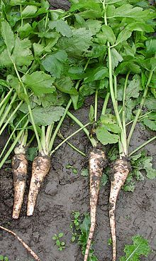 The parsnip (Pastinaca sativa) is a root vegetable closely related to the carrot. It is a biennial plant usually grown as an annual. Its lon...