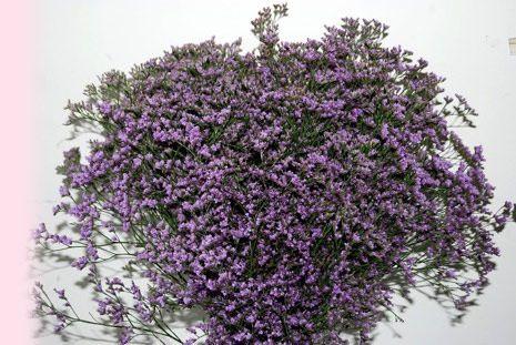 Risp Karel de Groot, Limonium spp., Plumbaginaceae Fjærkollfamilien, SNITT