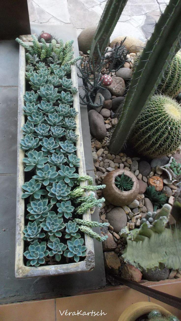 Suculentas e cactus.