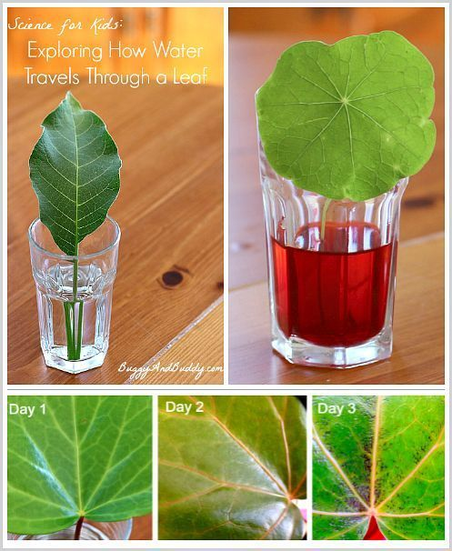 STEM for Kids: Exploring how water travels through various leaves. Fun plant science activity for kids. Post includes a free printable recording sheet! NGSS: Disciplinary Core Idea LS1.C ~ BuggyandBuddy.com
