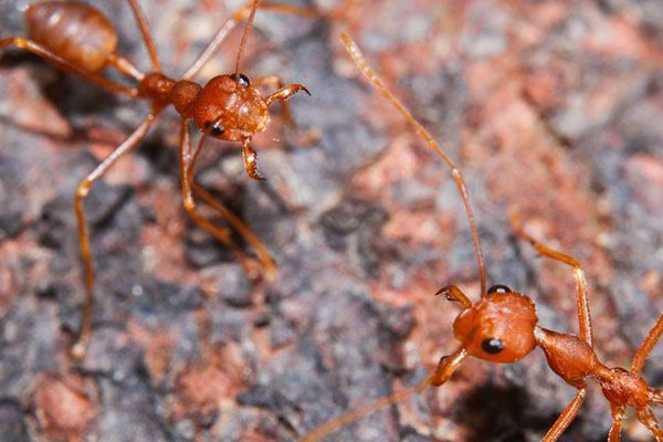 Fire Ant Stings   Here's what you need to know to identify, prevent and treat fire ant stings. #TerminixBlog