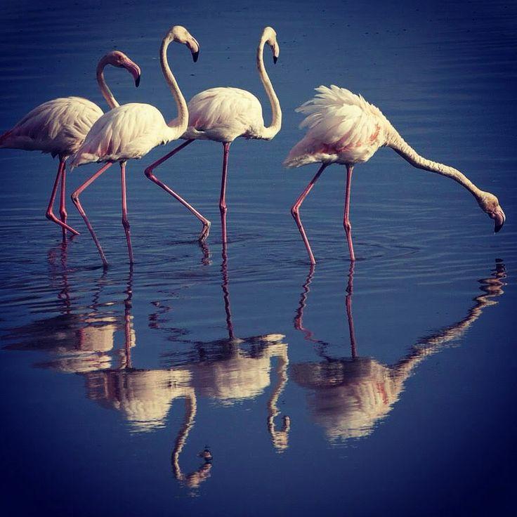 Pelikane @ Velddrift