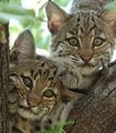 Ban the Export of Bobcat Skins from the U.S. - The Petition Site