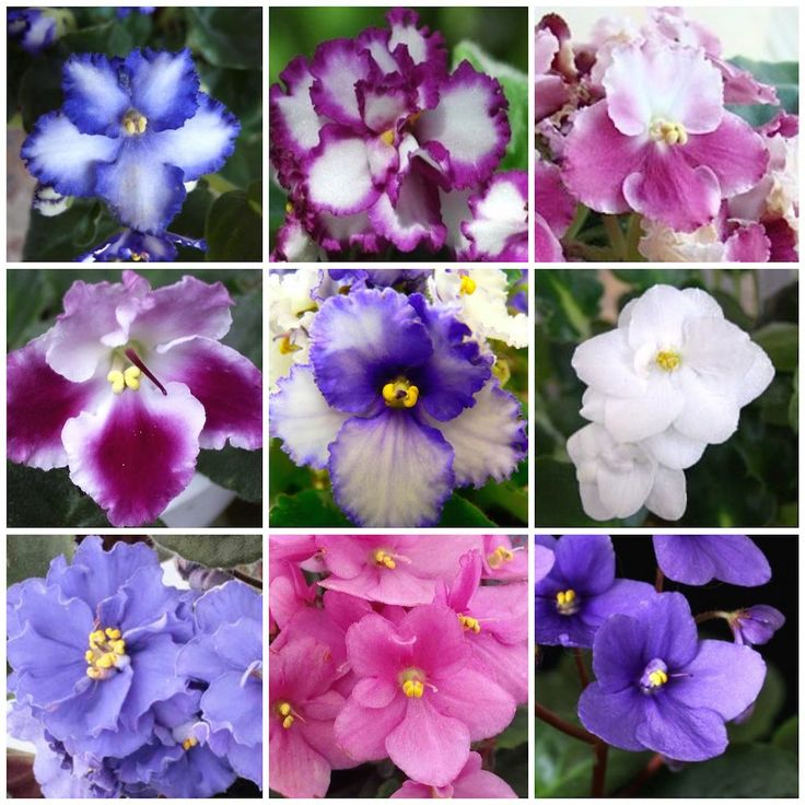 Violeta Africana - Saintpaulia ionantha (Muita luz, mas sem sol direto) http://www.floresefolhagens.com.br/violeta-africana-saintpaulia-ionantha/