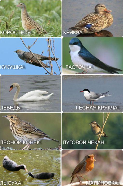 Перелетные птицы. Карточки. О птицах весной. - Babyblog.ru