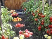 О томатах.
