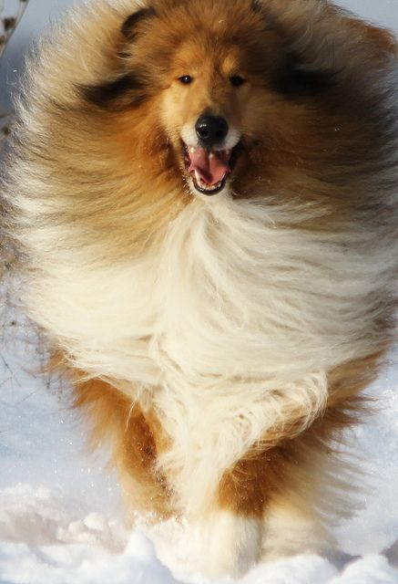 I love this one collies blow their coats out about twice a year despite all the hair they have - Keeping outdoor dog happy winter ...