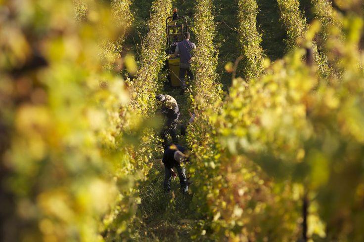 Vendanges #Domaine #Brand&Fils #Alsace