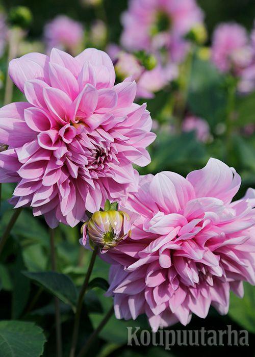 Daaliat tuovat räjähtävää energiaa ja huimia värejä puutarhaan. Uudet, matalat patiodaaliat hehkuvat ruukuissa terassilla ja parvekkeella. Näyttävät, isokokoiset klassikot sopivat perennojen kumppaniksi.