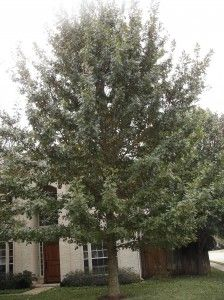 What is a Good Fast Growing Shade Tree for Austin and Central Texas? – Red Oak