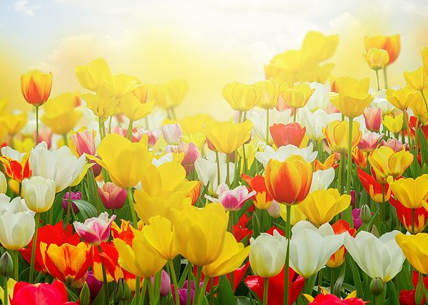 Spring green lawn with yellow, red and white tulips in sunny day by Anastasy Yarmolovich #AnastasyYarmolovichFineArtPhotography  #ArtForHome #Flowers