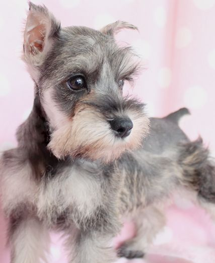 Salt & Pepper Mini Schnauzer Puppy <3