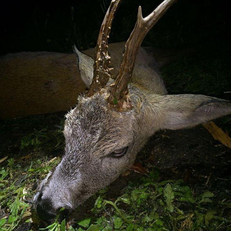 #охота на #косуль. Маленький #олень. #Рога #roedeer #deer #roe
