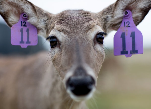 Human hearts are broken: Man claims to love deer, breeds them to be shot.
