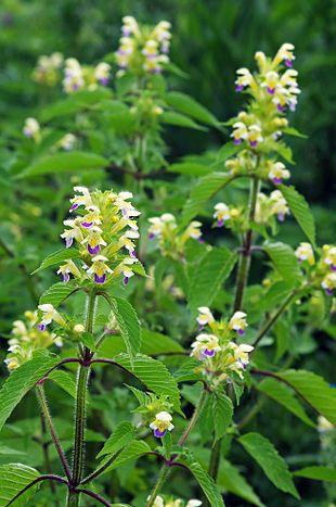 Hamp-Hanekro - juni-sept. - GaleopsisSpeciosa.jpg