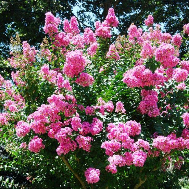 les 25 meilleures id es de la cat gorie lilas des indes sur pinterest arbustes lilas lilas et. Black Bedroom Furniture Sets. Home Design Ideas