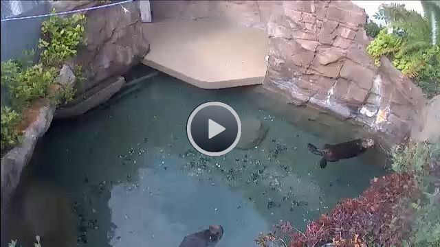 Seattle Aquarium Otter Cams! Usually the otters are quite active during the late morning to mid afternoon!
