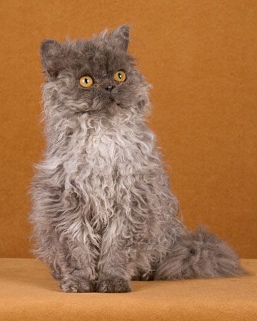 Selkirk Rex @Katryna Dellsite - it is Maizi - when she is all wet - and Mean Muppet-Like!