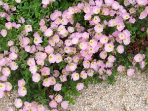 30 best images about yard summer flowers on pinterest for Perennial ground cover with pink flowers