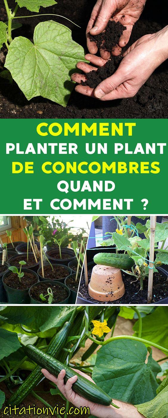 Comment Planter un plant de concombres : quand et comment ...