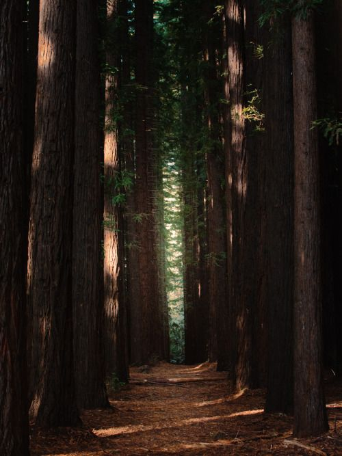 "hullocolin: "" East Warburton Redwood Forest, Australia Tumblr | Instagram | Website | Shop """